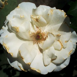 Luise Andersen: 'MIGNONS ROSE I  Precious In White And Gold ', 2011 Color Photograph, Floral. Artist Description:  . . love them ALL. . All Flowers. . this one. . one of White Roses . . is, because the whole Bush is in abundance of light and beauty, abloom. . . . to me. . is brathtakingly beautiful. . in her maturing. . have taken pictures of her, since tiny, tight, eager to grow, bud. . resonates echo of feel. . ...