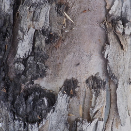 Luise Andersen Artwork MIG EUCALYPTUS TREE BARK I, 2012 Color Photograph, Abstract Figurative
