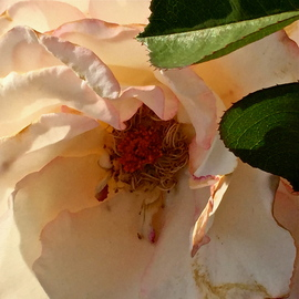 Luise Andersen: 'Mignon s Rose I  First Of APRIL 2015', 2015 Color Photograph, Floral. Artist Description:  * * Please, zoom in on her beautiful core. April 1,2015- on way back to residence, passed a to my eyes' familiar' garden. . through the gate, spotted this Rose. . her others, I had taken days before. . had dropped their petals. . could not resist, squeeze camera/ iphone 6 , ...