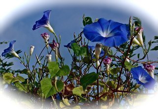 Luise Andersen: 'Morning Glory I', 2012 Color Photograph, Cats.   November 2012- - . . . the magnificent blue tones. . and pinks. . delicate white. . their open challis like form. . hmm. . so delicate, beautiful. . elegant in form. . so are their leaves. . . . and once you plant them. . and they establish themselves in ground here in Southern California easily. . they spread like 'wild fire' . . . . for many a...