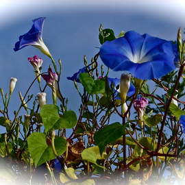 Luise Andersen: 'Morning Glory I', 2012 Color Photograph, Cats. Artist Description:   November 2012- - . . . the magnificent blue tones. . and pinks. . delicate white. . their open challis like form. . hmm. . so delicate, beautiful. . elegant in form. . so are their leaves. . . . and once you plant them. . and they establish themselves in ground here in Southern California easily. . they spread like 'wild fire' . . . . for ...