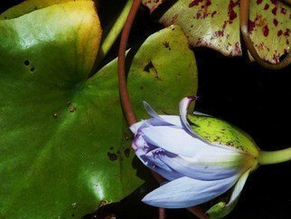 Luise Andersen Artwork Night Blooming LOTUS II, 2011 Color Photograph, Floral