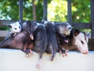 Luise Andersen Artwork OPOSSUM MOM Taking  Break In Prak I, 2011 Color Photograph, Animals