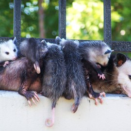 Luise Andersen: 'OPOSSUM MOM Taking  Break In Prak I', 2011 Color Photograph, Animals. Artist Description:  . . . was going to be 107 degress. . already hot in early morning on 2 miles regular walk around park. . gardener day today. . mowers. . blowers. . couple years now, we see familiar faces. . exchange smiles and greetings. . when we meet. . always courteous. . they stop their machines. . and let us walk by. . ...