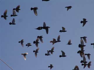 Color Photograph by Luise Andersen titled: PIGEONS IN FLIGHT I, 2008