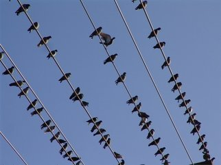 Color Photograph by Luise Andersen titled: PIGEONS ON THEIR WIRES, 2008