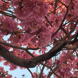 Luise Andersen: 'PINKS February 2015', 2015 Color Photograph, Trees. Artist Description:  February 17,2015- - on walk downtown towards water fountains. . Sierra Avenue we enjoyed the glorious abundance of these beautiful in full bloom trees took a series : ) from all kind of angles. . perspectivesimmensely inspiring. .These are moments of deep 'happiness' inside* size for uploading purposes only ...