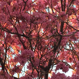 Luise Andersen: 'PINKS II February 2015', 2015 Color Photograph, Trees. Artist Description:  * Size mentioned, for uploading purposes only ...