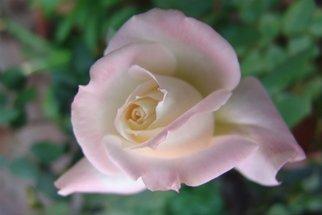 Luise Andersen Artwork PINK Rose Series I, 2008 PINK Rose Series I, Floral