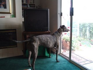 Color Photograph by Luise Andersen titled: PRINCE Olen  GreyHound   I  En Guard, 2008