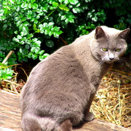 Luise Andersen: 'PRISSY  Feline II  in Series', 2008 Color Photograph, Cats. Artist Description:  SO HERE SHE IS. . THE EMPRESS OF THE BACKYARD GARDEN. . . JUST TRYING TO GET AWAY FROM MY THING ( camera) IN MY FACE. . AND GIVES ME A LOOK BACK. . SITS JUST FOR A SECOND OR TWO. .  LOOK AT HER EXPRESSION IN EYES. . SHE 'KNOWS' . . WHAT I DO NOT. . 16. ...