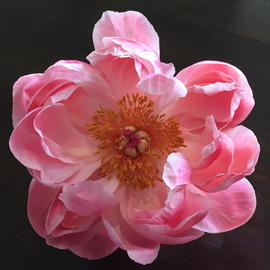 Luise Andersen Artwork Peonie Flower MAY 16 2015, 2015 Color Photograph, Floral