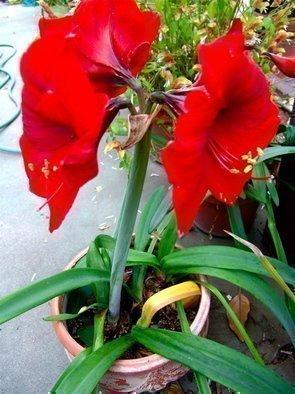 Luise Andersen Artwork RED AMARYLLIS  Is In Bloom In Paulines Sanctuary, 2007 RED AMARYLLIS  Is In Bloom In Paulines Sanctuary, Floral