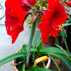 Luise Andersen Artwork RED AMARYLLIS  Is In Bloom In Paulines Sanctuary, 2007 Color Photograph, Floral