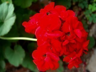 Color Photograph by Luise Andersen titled: RED GERANIUM, 2008
