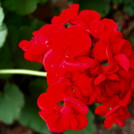 Luise Andersen Artwork RED GERANIUM, 2008 Color Photograph, Floral
