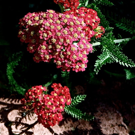 Luise Andersen Artwork RED JARROW I, 2012 Color Photograph, Floral