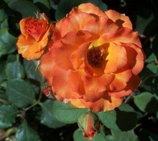 Luise Andersen Artwork ROSE OF ORANGE AND BUDS II series, 2011 Color Photograph, Floral