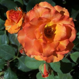Luise Andersen: 'ROSE OF ORANGE AND BUDS II series', 2011 Color Photograph, Floral. Artist Description:  . . real orange. . and with sun glow. . brought forwards gold too. . only 3 or 4 Rose Bushes of this color amongst all the others. . which were mostly in various gorgeous reds. . going to strong pinks. . and several hues of yellows. .Just had to take the orange ones. . never had ...