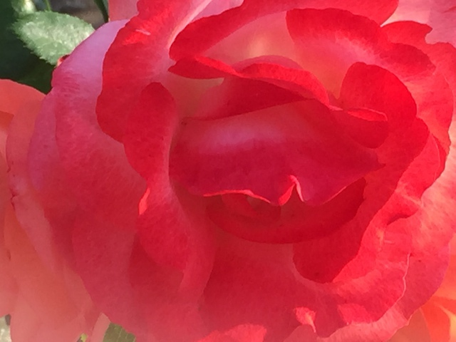 Luise Andersen ROSE In Springtime  MAY 16  2015 2015