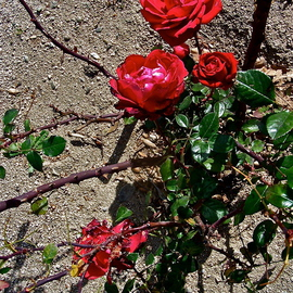 Luise Andersen Artwork ROSEs In WINTER  IIMig of series, 2013 Color Photograph, Floral