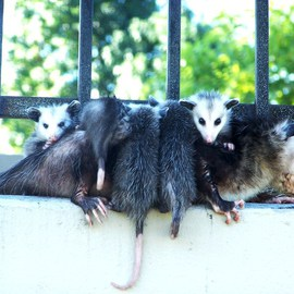 Re Locating and Change of Direction OPOSSUM FEMALE AND HER LITTER VIII