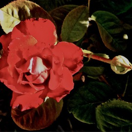 Luise Andersen Artwork Rose in Autumn I, 2013 Other Photography, Floral