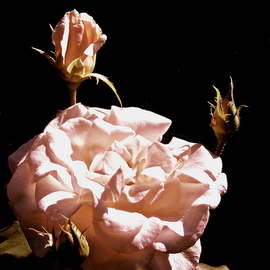 Luise Andersen Artwork Scent of Pink I  There Is Always Another Beautiful ROSE series, 2012 Color Photograph, Floral