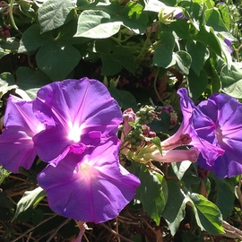 Luise Andersen: 'Summer s Morning Glories I ', 2014 Color Photograph, Floral. Artist Description:  July 7,2014- - on my way to Pauline and Jack's residence. . delightful hues. . light in their graceful chalices beckon to get closer. . and delight in their beauty. . vigorous growths. . spread along the fencewonderful green heart formed leaves. .  ...