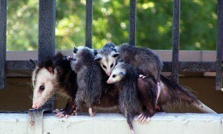 Luise Andersen Artwork Turning Back II OPOSSUM FAMILY relocate , 2011 Color Photograph, Animals