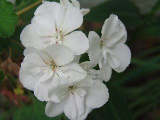 Color Photograph by Luise Andersen titled: WHITE GERANIUM II, 2008