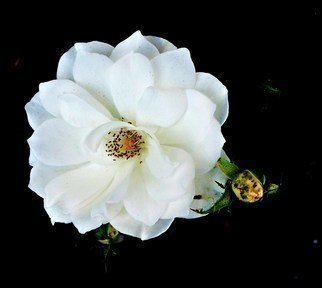 Luise Andersen Artwork WHITE ROSE OF MY WEDNESDAY I, 2011 Color Photograph, Floral