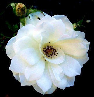 Luise Andersen Artwork WHITE ROSE OF WEDNESDAY VII, 2011 Color Photograph, Floral