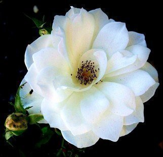 Luise Andersen Artwork WHITE ROSE OF WEDNESDAY VII B, 2011 Color Photograph, Floral