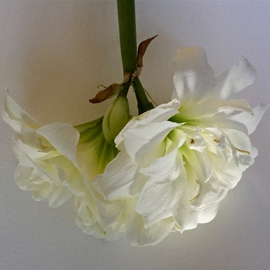 Luise Andersen Artwork  LILY  I  APRIL 2 2015, 2015 Color Photograph, Floral