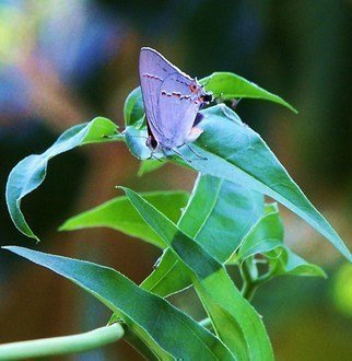 Luise Andersen: ' Lilac Butterfly  II', 2011 Color Photograph, Beauty.  ++ size mentioned for this photo is for uploading purpose on premiere portfolio only. .   ...