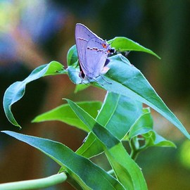 Luise Andersen Artwork  Lilac Butterfly  II, 2011 Color Photograph, Beauty