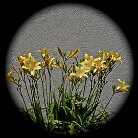 Luise Andersen Artwork going for the Gold  DAY LILIES I, 2013 Color Photograph, Floral