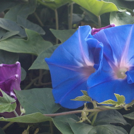 Luise Andersen: 'light Of Morning Glory IX', 2014 Color Photograph, Floral. Artist Description:    more of Morning Glories. . they multiple so vigorouslybrilliant blues and wonderful greens. . lovely shaped. . delights eyes. .Taken with Sony Cybershot , 14. 1* * size for uploading purpose only  ...