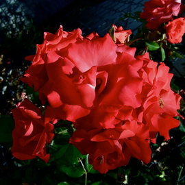 Luise Andersen Artwork when it comes to glowing red Roses II, 2012 Color Photograph, Floral