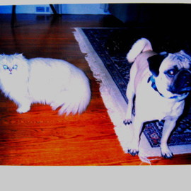 Lois Di Cosola: 'MIlo and Gizmo', 2004 Color Photograph, Cats. Artist Description:  wonderful Pug and Persian cat- ...