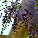 Wisteria By Laurie Delaney