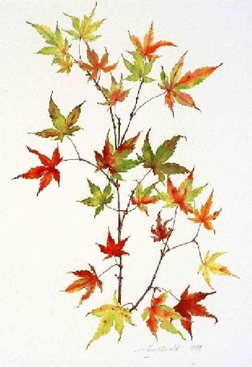 Lucy Arnold Artwork Japanese Maple Original Printmaking