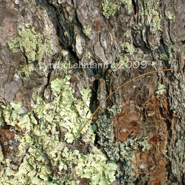 Bark, Lichen, and Pine Needle  By Lynda Lehmann