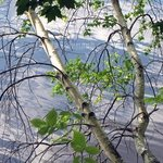 Birch Over Water, Lynda Lehmann