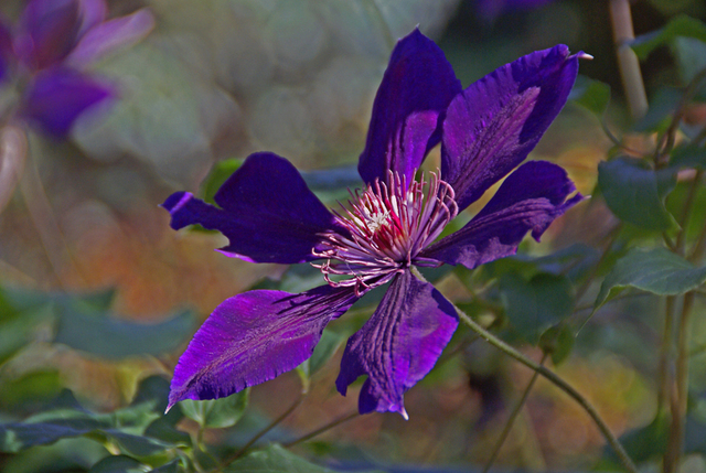Lynda Lehmann  'Clematis', created in 2007, Original Photography Mixed Media.