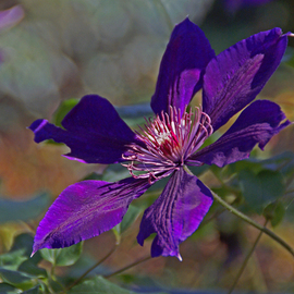 Lynda Lehmann: 'Clematis', 2007 Other Photography, Floral. Artist Description: Nature always has a surprise to offer, whether it' s a grand sunset, an encounter with a soulful furry critter ( pet or otherwise) , the power and majesty of a waterfall, or a simple