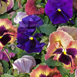 Lynda Lehmann: 'Color Play', 2008 Color Photograph, Botanical. Artist Description:  Bright pansies, velvety and lush and sprinkled with pollen, in early morning sunlight. Image c Lynda Lehmann. Archival print 8 x 10 on professional photo paper, matted to 11 x 14 inches. Please feel free to ask about other sizes. My name and copyright will be on the ...