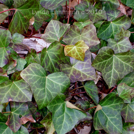 Lynda Lehmann: 'Deepening Mystery', 2010 Color Photograph, Beauty. Artist Description:  Lush green ivy, beckoning the viewer to share nature's mystery. Keywords: ivy, plant, vines, botanical, green, nature, beauty, lush, mystery, garden, arbor, ...
