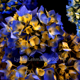 Lynda Lehmann: 'Digital Hydrangea', 2010 Color Photograph, Beauty. Artist Description:  Tiny, delicate blossoms.Keywords: floral, flowers, tiny, blossoms, delicate, garden, spring, botanical, blooming, life, nature, beauty, peace, tranquility, macro ...